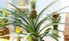 1 ou 2 plantes d'ananas comestibles