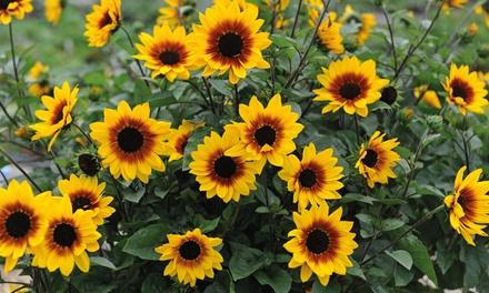 Sunflower SunBelievable Plants