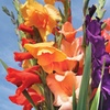 Gladiolus Bulb Mix (30 Bulbs)