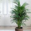 XXL Chamaedorea Indoor Palm Tree