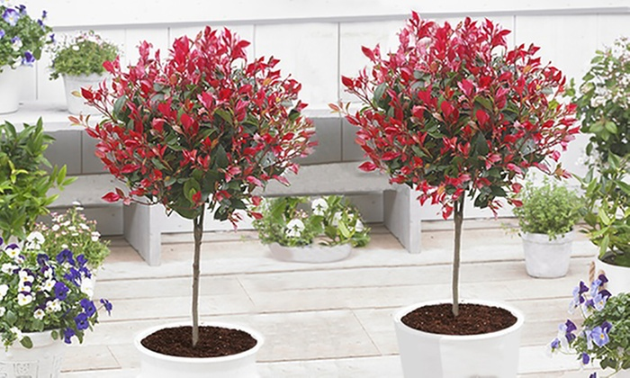 evergreen photinia little red robin trees groupon. Black Bedroom Furniture Sets. Home Design Ideas