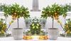 1x oder 2x Zitruspflanze: Calamondinorange, Zitrone oderKumquat