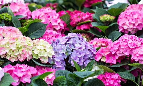 Pack de 3 hortensias XL de diferentes colores