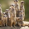 Meet the Meerkat Experience
