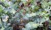 1 o 2 arbustos grandes de Eucalyptus Gunni