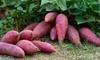 3 of 6 paarse zoete aardappelplanten