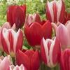 Tulip Bulbs (15-Pack)