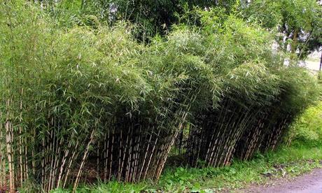 3 o 6 setos de bambú Fargesia Rufa
