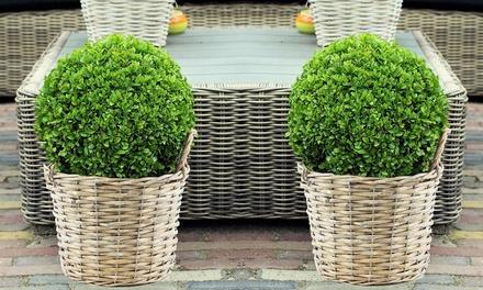 2 piante di Buxus sempervirens con o senza cestini di vimini