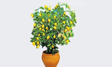 Baldur GartenSet mit 4 oder 8 Pflanzen  Zitronen- und Orangenbaum  (Stuttgart)