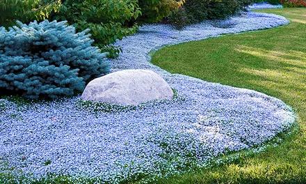 """15, 30 oder 50 Pflanzen Bodendecker """"Isotoma Blue Foot"""" (bis zu 38% sparen*)"""