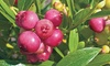 Blueberry Duo Collection – 2 Plants