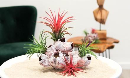 Plante Tillandsia avec une coquille fraîche de Barnacle