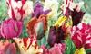 16, 32 or 64 Parrot Tulip Mixed Bulbs