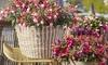 6 plantes Fuschia de jardin