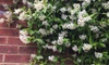 Set da 2 piante di Gelsomino