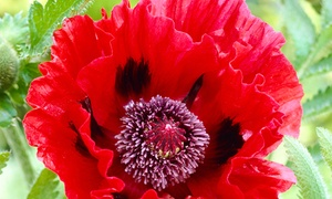 Pre-Order: Mixed Varieties of Poppies Bare Root Plants (3- or 5-Pack)