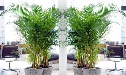 1 o 2 Palme Areca facile da curare