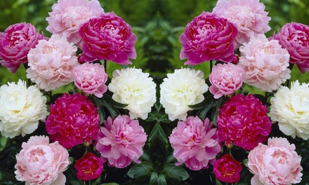 Peony Collection of Three or Six Plants