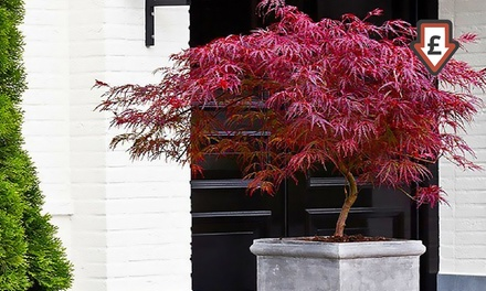Two, Four or Eight Acers, Japanese Maple Collection with Optional Planters and Feed