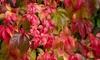 Virginia Creeper Parthenocissus QuinquefoliaPlant