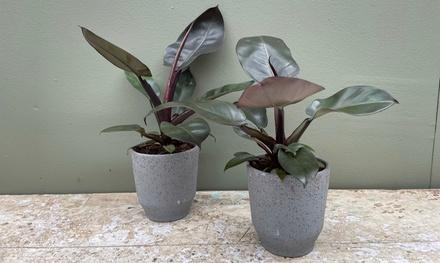 1 planta Philodendron Black Cardinal