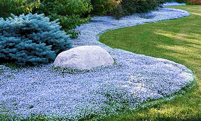 isotoma blue foot plants groupon goods. Black Bedroom Furniture Sets. Home Design Ideas