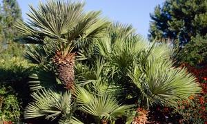 Palmiers nains européens