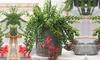 Set di piante Aeschynanthus Twister