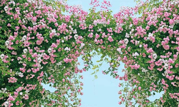 two rambler rose plants groupon. Black Bedroom Furniture Sets. Home Design Ideas