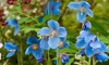 Groupon Goods Global GmbH: One, Two or Three Meconopsis Lingholm Blue Poppies