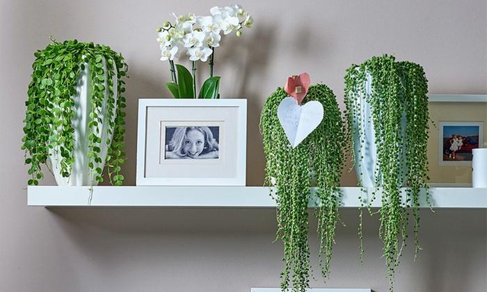 Hängepflanzen Zimmer hängepflanzen fürs zimmer groupon