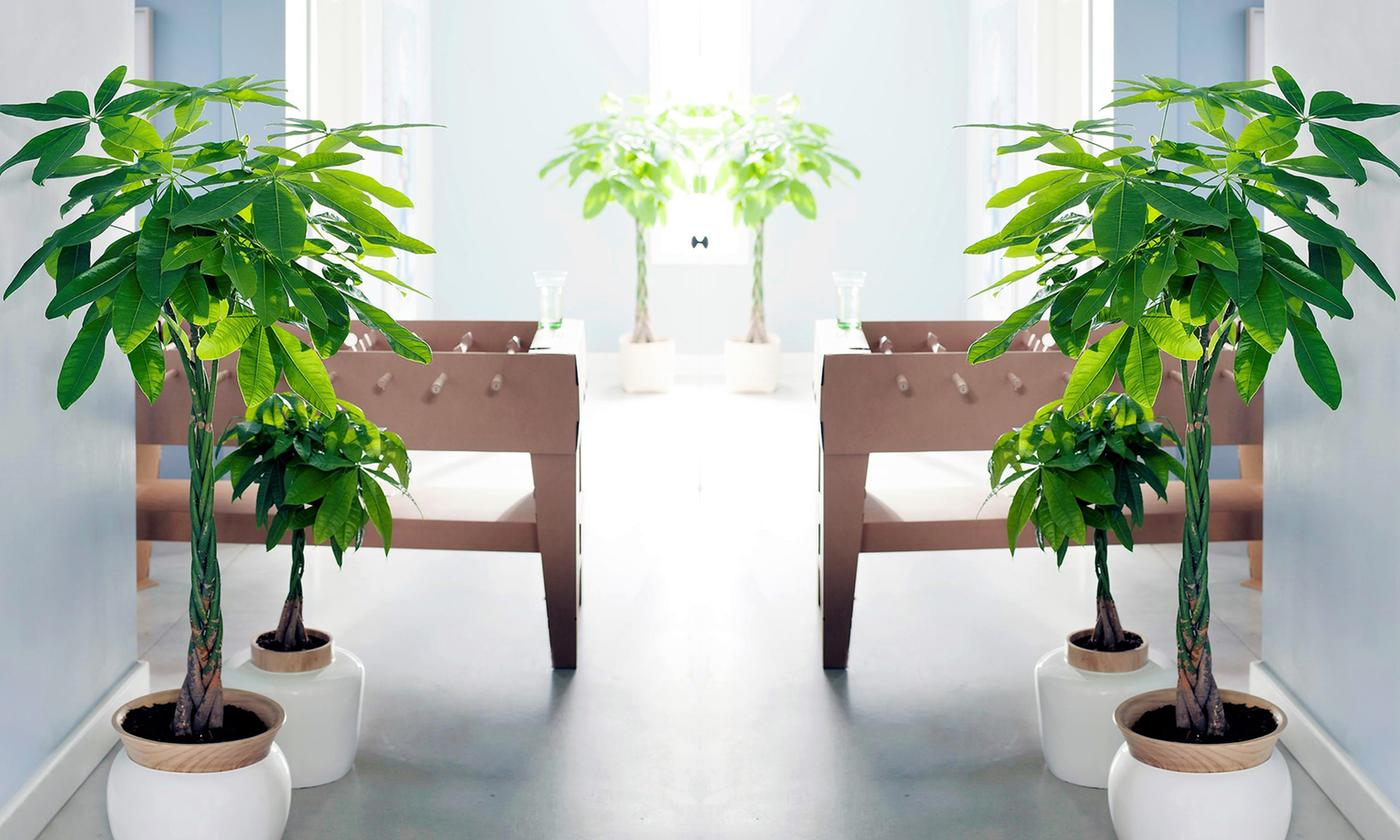 Set of Two Pachira Moneytrees
