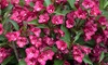 One or Two Weigela Towers of Flowers Cherry Plants
