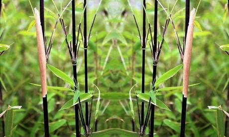 Set de 2 o 4 bambúes negros