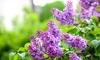 1 à 3 plants de lilas Syringa 'Bloomerang'