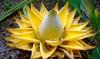 """Bananier nain Musella Lasiocarpa """"Golden Lotus"""""""
