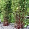 Red Stem Umbrella Bamboo