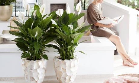 Juego de 2 o 4 plantas XL Spathiphyllum Lirio de la paz