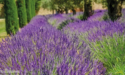 Up to 288 Lavender Hidcote and Munstead Plants