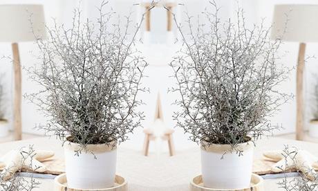 Set de 3 o 6 arbustos Maori Corokia bonsai