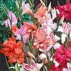 Pre-Order Hardy Gladiolus Nanus Supreme Mix Bulbs (10-Pack)