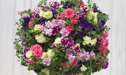 5, 10 or 20 Scented Petunia Frills and Spills Mixed Plants with Optional Hanging Baskets