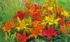 Asiatic Lily Bulb - Hybridizer Mix (10 bulbs): Asiatic Lily Bulb - Hybridizer Mix (10 bulbs)
