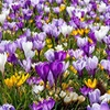 Pre-Order: Giant or Snow Crocus Bulbs (30-Pack)