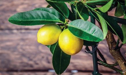 Four Mediterranean Fruit Trees