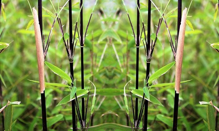 Jusqu A 71 Bambou Noir Groupon