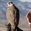 Hawk Walk for One or Falconry Lesson for Two