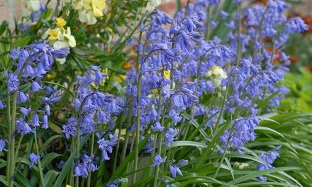 30 or 60 English Bluebell Bulbs