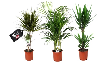 Set of Three XXL Indoor Palms